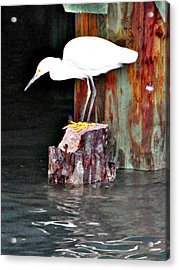 Egret Fishing Acrylic Print by John Collins
