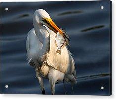 Egret Fishing Acrylic Print by Phil Lanoue