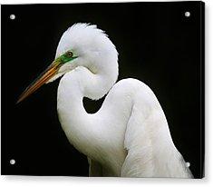 Elegant Great White Egret Acrylic Print by Paulette Thomas