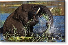 Elephant Eating Grass In Water Acrylic Print by Mareko Marciniak