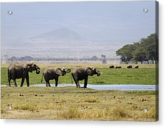 Elephants At The Watering Hole Acrylic Print by Marion McCristall