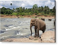 Elephants Acrylic Print by Jane Rix