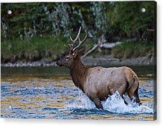 Elk Through Water Acrylic Print by Maik Tondeur
