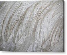 Emu Feathers Acrylic Print by Paulette Thomas
