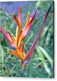 Enhanced Heliconia Acrylic Print by Karen Nicholson