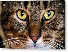 Face Framed Feline Acrylic Print by Michelle Milano