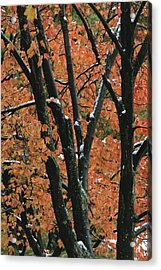 Fall Foliage Of Maple Trees After An Acrylic Print by Tim Laman