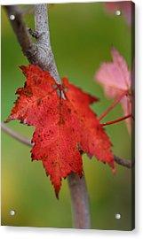 Fall Leaf Acrylic Print by Brady D Hebert