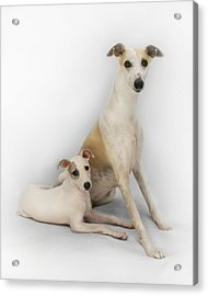 Father And Son Whippets Acrylic Print by John Clum