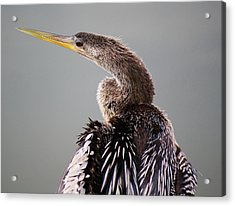Female Anhinga Acrylic Print by Paulette Thomas