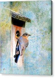 Female Eastern Bluebird At Nesting Box Acrylic Print by Jai Johnson
