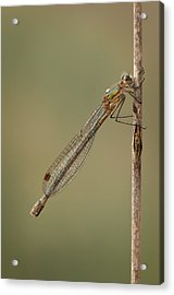 Female Emerald Damselfly Acrylic Print by Andy Astbury