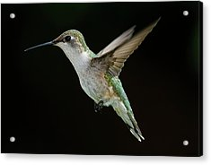 Female Hummingbird Acrylic Print by DansPhotoArt on flickr