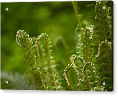 Ferns Fiddleheads Acrylic Print by Mike Reid