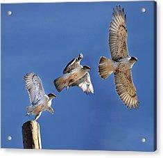 Ferruginous Hawk In Flight Acrylic Print by Utah-based Photographer Ryan Houston