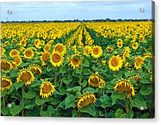 Field With Sunflowers In France Acrylic Print by Www.bluemoonfotografie.nl