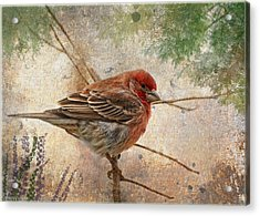 Finch Art Or Greeting Card Blank Acrylic Print by Debbie Portwood
