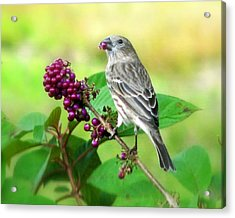 Finch Eating Beautyberry Acrylic Print by Peg Urban