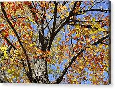 Fire Maple Acrylic Print by Luke Moore