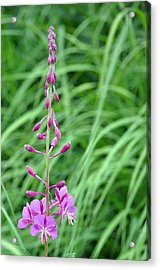 Fireweed Acrylic Print by Lisa Phillips