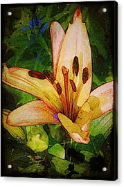 First Asiatic  Acrylic Print by Chris Berry
