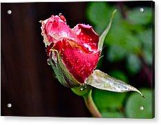 First Rose Acrylic Print by Bill Owen