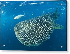 Fish Following A Whale Shark Acrylic Print by Paul Nicklen