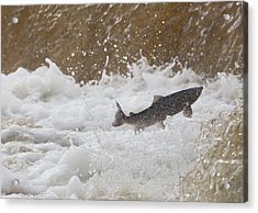 Fish Jumping Upstream In The Water Acrylic Print by John Short