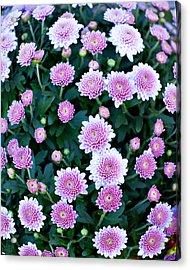 Fisheye Of Pink Flowers Acrylic Print by Malania Hammer
