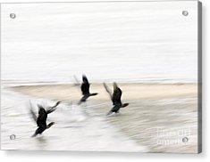 Flight Of The Cormorants Acrylic Print by David Lade