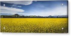 Flowering Mustard Crop In Canterbury Acrylic Print by Colin Monteath