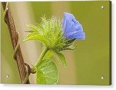Flowering Wild Vine Acrylic Print by Bonnie Barry