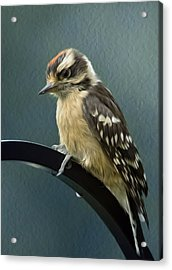 Flowing Downy Woodpecker Acrylic Print by Bill Tiepelman