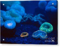 Fluorescent Corals Acrylic Print by Kjell B Sandved and Photo Researchers