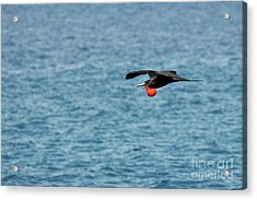 Flying Male Great Frigate Acrylic Print by Sami Sarkis