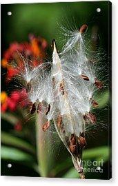 Flying Milkweed Silk Acrylic Print by Sabrina L Ryan