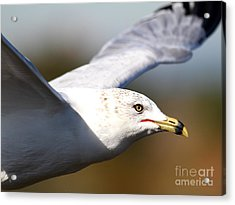 Flying Seagull Closeup Acrylic Print by Wingsdomain Art and Photography