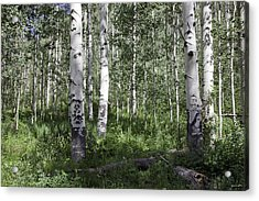 Forever Aspen Trees Acrylic Print by Madeline Ellis