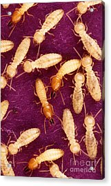 Formosan Termites Acrylic Print by Science Source