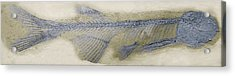 Fossil Fish, Sem Acrylic Print by Steve Gschmeissner