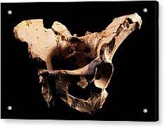 Fossilised Pelvis, Sima De Los Huesos Acrylic Print by Javier Truebamsf