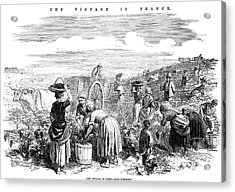France: Grape Harvest, 1854 Acrylic Print by Granger