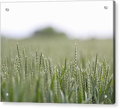 Fresh Wheat Field In Countryside Acrylic Print by Dougal Waters