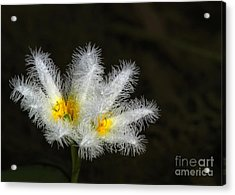 Frilly White Water Lily Acrylic Print by Sabrina L Ryan