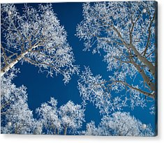 Frost-covered Aspen Trees Acrylic Print by Karen Desjardin