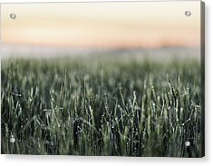 Frost On Tall Grass In Field Acrylic Print by Manuel Sulzer