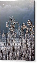 Frozen Reeds At The Shore Of A Lake Acrylic Print by John Short
