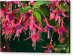Fuchsia Windchime Flowers Acrylic Print by Alan and Linda Detrick and Photo Researchers