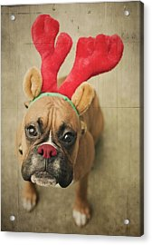 Funny Boxer Puppy Acrylic Print by Jody Trappe Photography