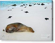 Galapagos Sea Lion Sleeping On Beach Acrylic Print by Sami Sarkis
